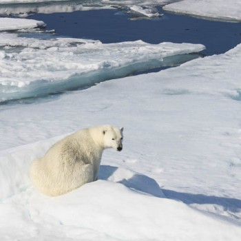 ours polaire, Svalbard, août 2009